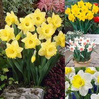 60 Trumpet Daffodil Collection