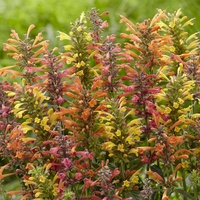Agastache Kudos Mixed (Power-Module)