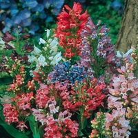 Penstemon Dwarf Navigator Mixed (Power-Module)