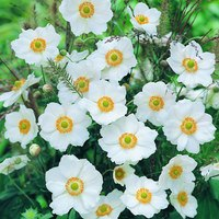 Anemone Honorine Jobert (8cm Pot)