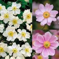 Anemone japonica Collection (8cm Pot)