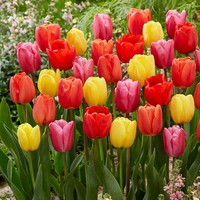 15 Darwin Tulips Mixed