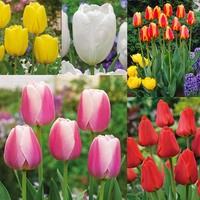 50 Tulip Darwin Collection