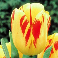 10 Tulip Olympic Flame