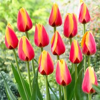 10 Tulip World Peace