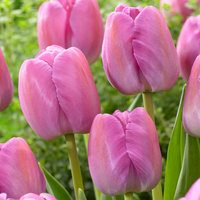 10 Tulip Purple Pride