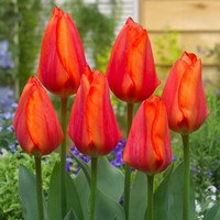 Tulip Hollands Glorie