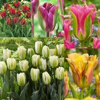 50 Tulip Virdiflora Collection