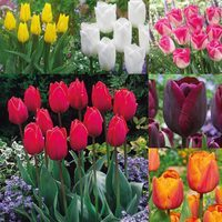 60 Triumph Tulips Collection