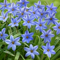 25 Ipheion Uniflorum Jessie
