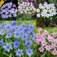 Ipheion Uniflorum Collection