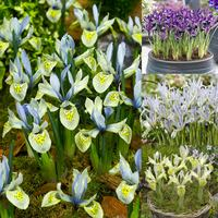 55 Iris Rare and Unusual Collection