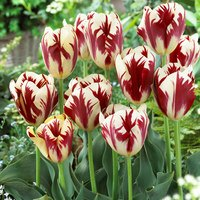 10 Tulip Grand Perfection