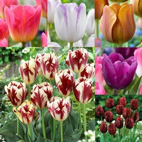 60 Trumph Tulip Collection