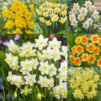 90 Narcissi Jonquilla Collection