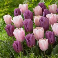20 Tulip Copex/Sweet Love Collection