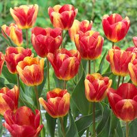 Tulip Colour Mystic