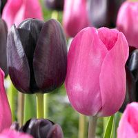 20 Triumph Tulip Collection