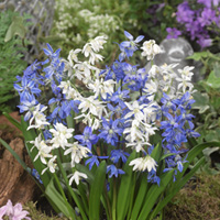 50 Scilla Siberica Mixed