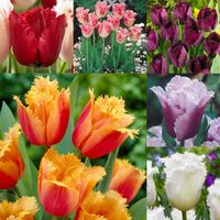 60 Tulip Fringed Collection