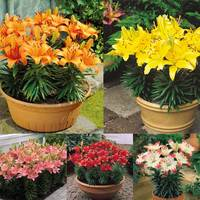 25 Lily Short Stemmed Collection