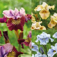 9 Iris sibirica Collection
