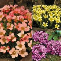 9 Saxifraga Unusual Collection