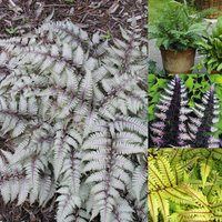 4 Athyrium Collection (Exotic Ferns)