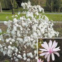 Magnolia stellata Collection