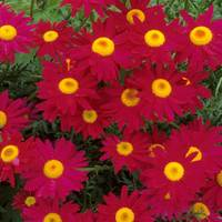 6 Pyrethrum Red (Tancetum)