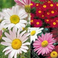 18 Pyrethrum Collection (Tancetum)