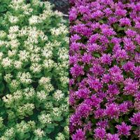 Sedum spureum Collection