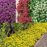 6 Sedum Ground Cover Mixed