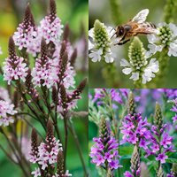 6 Verbena hastata Collection