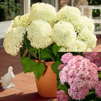 2 Hydrangea Annabelle Collection