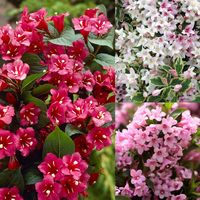 3 Weigela Collection