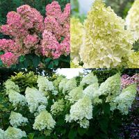 3 Hydrangea Paniculata Collection