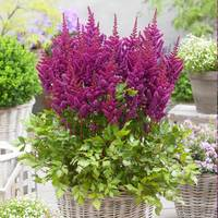 3 Astilbe Vision in Purple
