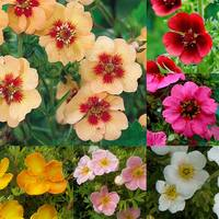 3 Potentilla Mixed