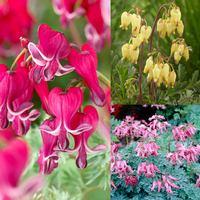 3 Dicentra Hearts Collection