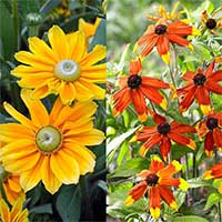 6 Rudbeckia Prairie Collection