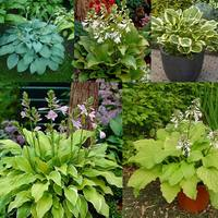 Hosta Fragrance Collection