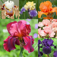 6 Iris germanica Collection (Bearded Iris)
