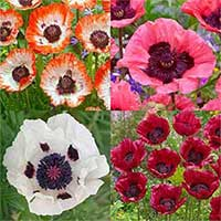 4 Papaver Unusual Collection