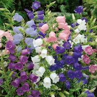 6 Campanula Medium Collection