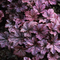 6 Heuchera Palace Purple