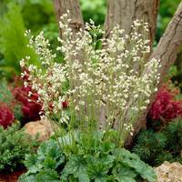 6 Heuchera sanguinea White Cloud