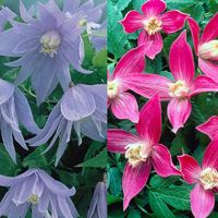 Clematis Alpina Collection
