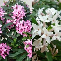2 Fragrant Daphne Collection