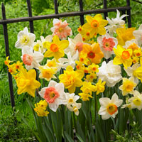 25 Daffodil and Narcissi Bargain Mixture